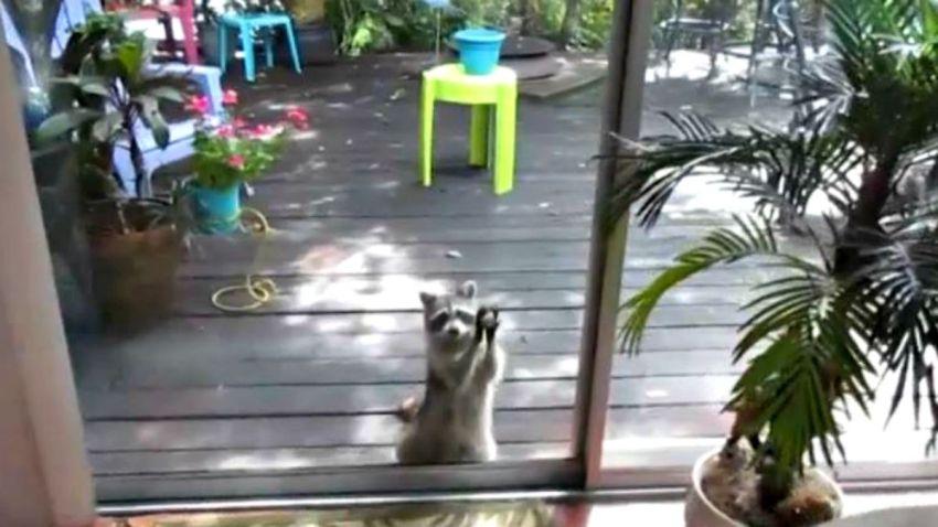 TLMd-florida-sarasota-mapache-comida-puerta