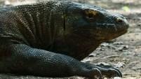 El gobierno de Indonesia anunció el cierre del parque para la recuperación del ecosistema y de los más de 1,7000 inmensos lagartos que...