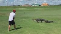 Steel Lafferty publicó un video en el que se muestra cómo juega a golf en Florida a poca distancia de un tranquilo caimán.