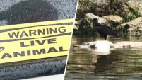 Las autoridades de Pesca y Vida Silvestre encontraron seis caimanes baleados en el condado Collier, Florida.