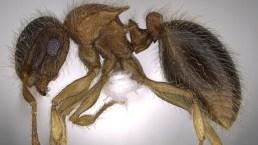 """Descubren hormiga árabe """"fuerte y peluda"""""""