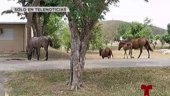 Caballos provocan caos en el Campamento Santiago