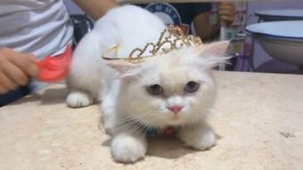 ¡Concurso de belleza felina! Gato se corona como la mascota más bella