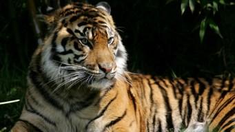 Tigre ataca a cuidadora en plena exposición