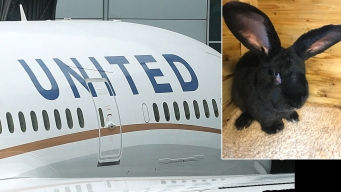 Conejo gigante muere en vuelo de United, investigan incidente