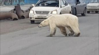 Desgarrador: oso raquítico pasea por calles de Rusia