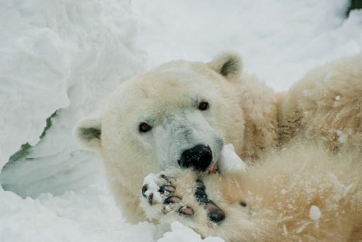 Oso polar de Filadelfia llega a los 37 años