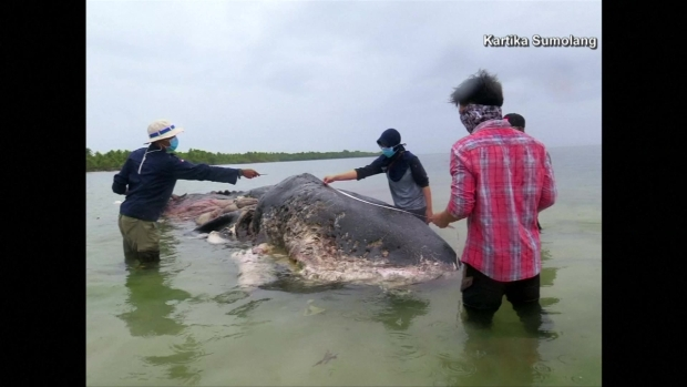[TLMD - LV] Muere ballena por ingerir botellas de plástico