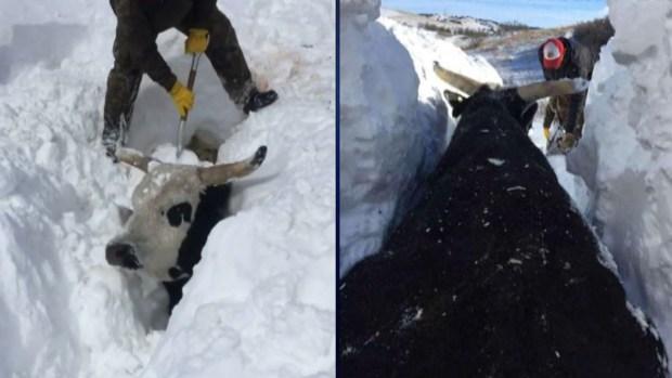 [TLMD - NATL] Impresionante: tormenta deja a toros enterrados bajo varios pies de nieve