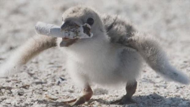 Peligro ambiental: pajarito es retratado en una playa con un cigarrillo en su boca