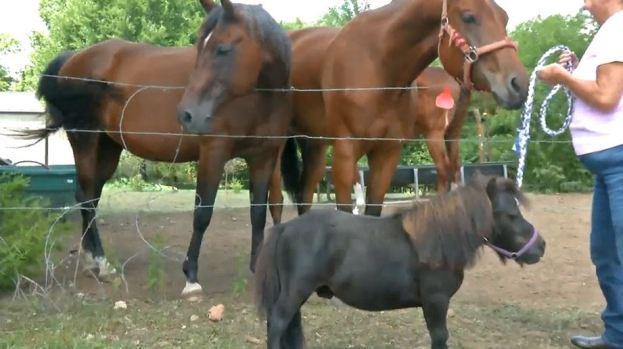 [TLMD - NATL] Conoce a Durango, ¿el caballo más pequeño del mundo?