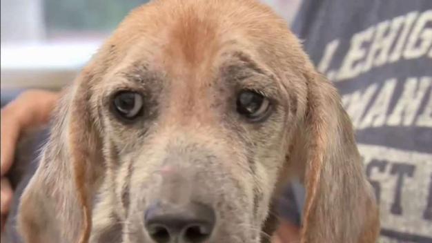 Docena de 'beagles' lista para adopción tras rescate
