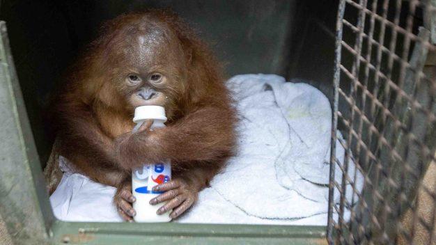 Video: hallan a bebé orangután escondido en una maleta