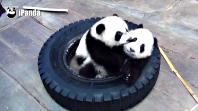 Trillizos panda listos para histórico cumpleaños