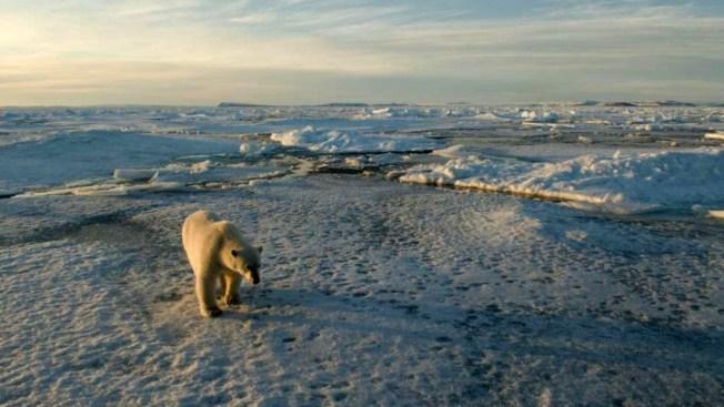 El cambio climático amenaza a los osos polares