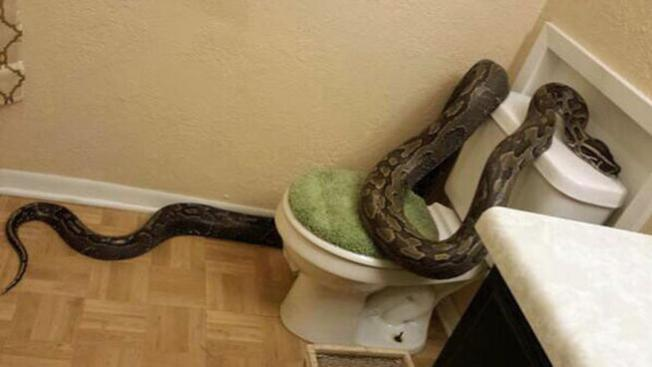 Visitante de 12 pies impide ir al baño