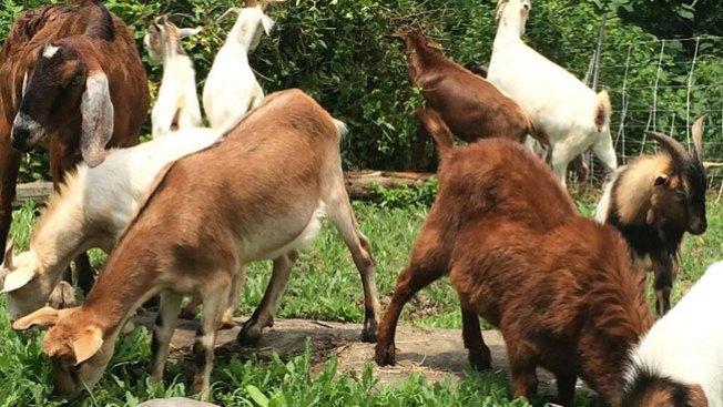 """""""Contratan"""" cabras para limpiar parque"""