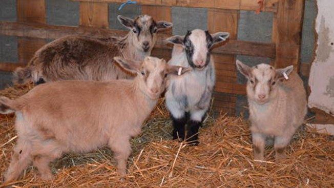 Roban cabras, cerdos y una oveja