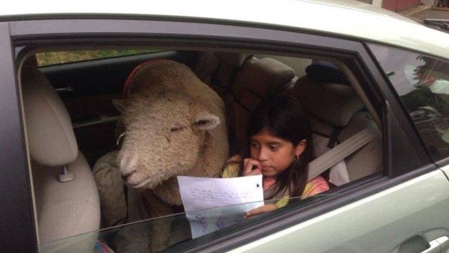 Luchan por quedarse con la oveja Kabob