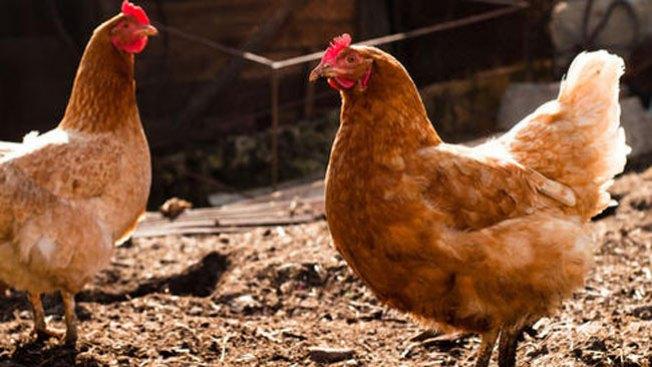 ¡Lucha por quedarse con sus pollos!