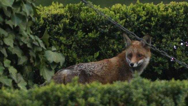 Mujer fue atacada por zorro con rabia