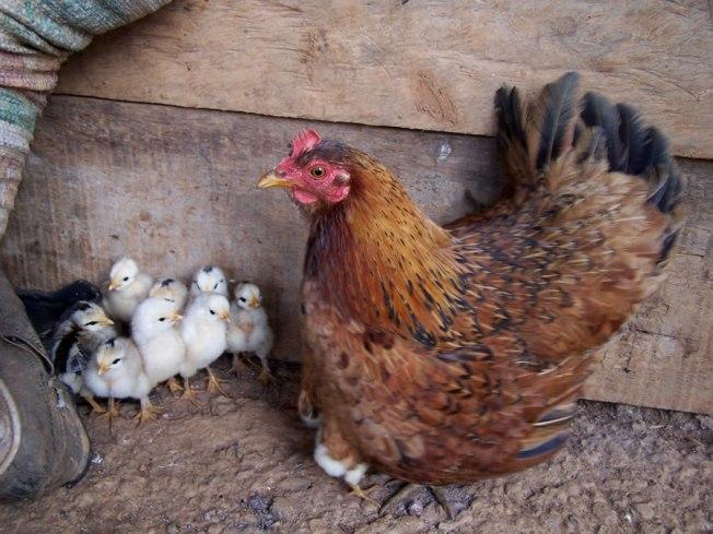 Mala racha para las gallinas en Pensilvania